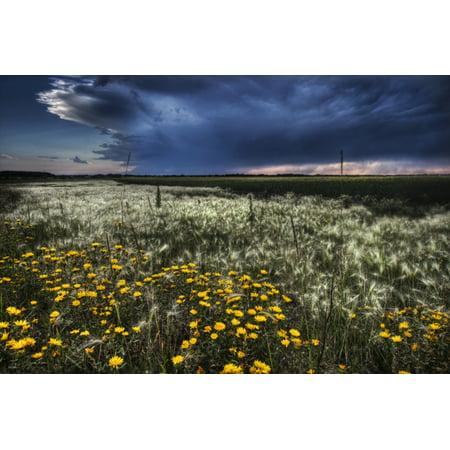 Dan Jurak / Design Pics Stretched Canvas Art - Foxtails And ...