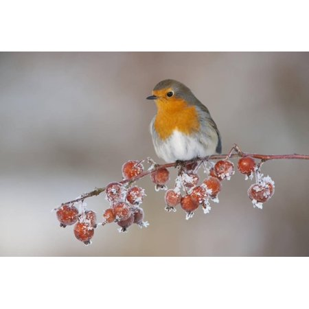 Adult Robin (Erithacus Rubecula) in Winter, Perched on Twig with Frozen Crab Apples, Scotland, UK Print Wall Art By Mark -