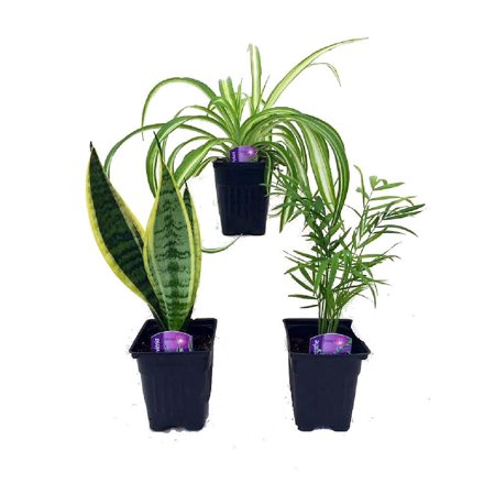 Hirts House Plant Collection   Parlor Palm  Spider Plant  Snake Plant