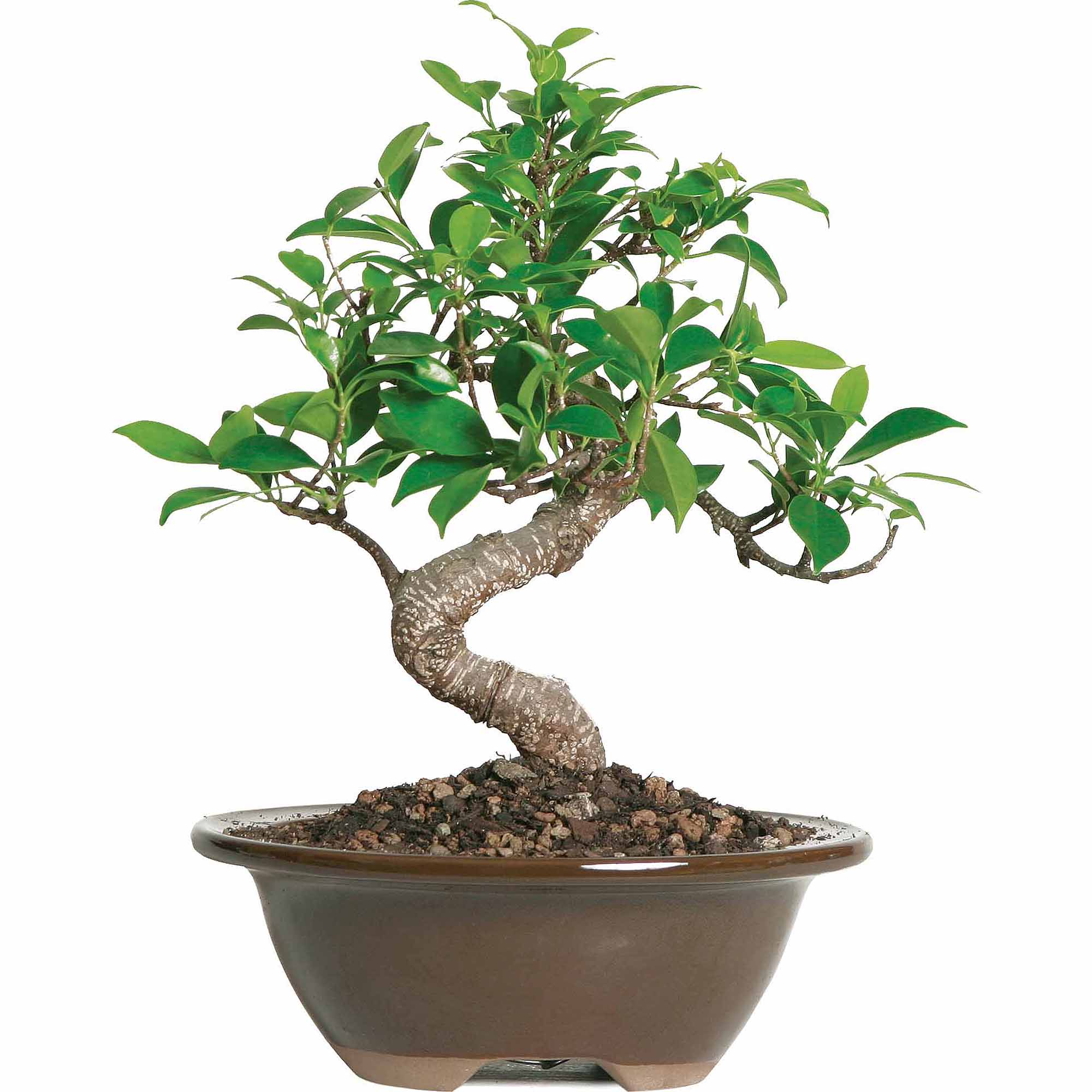 golden gate ficus bonsai tree bonsai tree