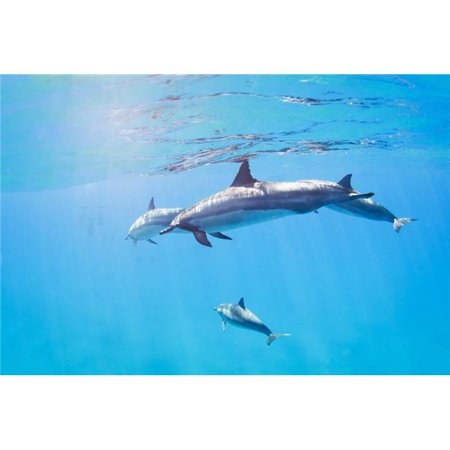 Dolphins Swimming Underwater Tropical Ocean Poster Print by Design Pics Vibe, 34 x 22 - Large - image 1 of 1
