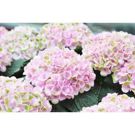 LAMINATED POSTER Plant Pink Bloom Garden Nature Flower Hydrangea Poster Print 24 x 36