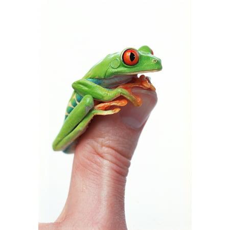 Red-Eyed Tree Frog (Agalychnis Callidryas) Canvas Art - Corey Hochachka  Design Pics (11 x -