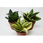 "3 Snake Plant Variety (Sansevieria) / 4"" Pot / Live Plant"