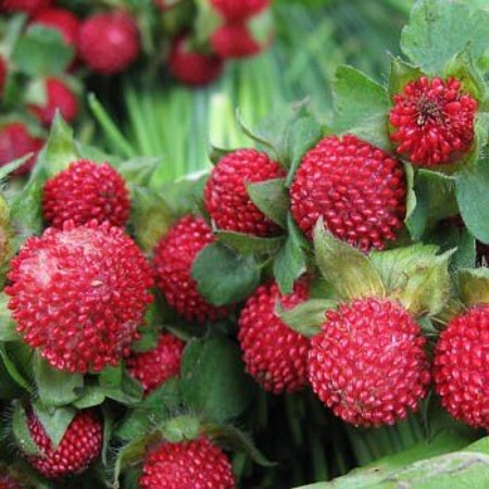 Outsidepride Strawberry Indian   10000 Seeds