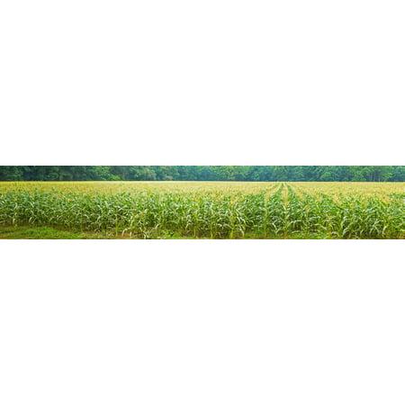 Cornfield Cuyahoga Valley National Park Cuyahoga County Ohio Usa Canvas Art   Panoramic Images  36 X 12