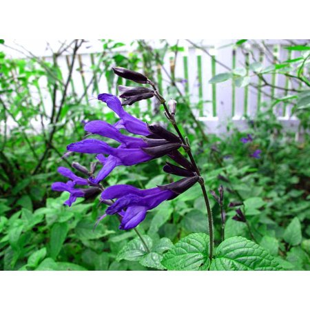 Growing Herbs Window Box (Black & Blue Hummingbird Sage Herb - Grow Indoors/Out - Live Plant - 4