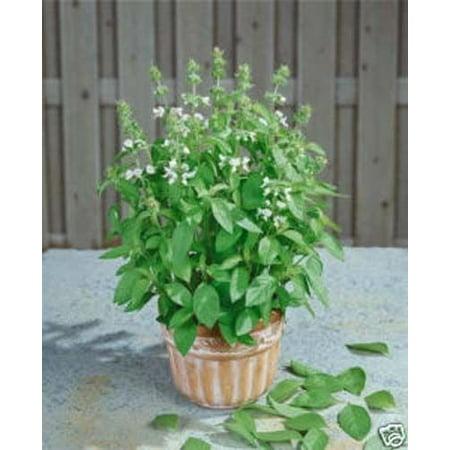 Basil Lemon Great Garden Herb 500 Seeds