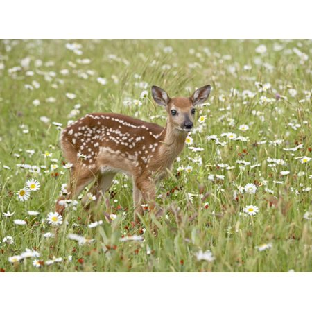 Whitetail Deer Fawn Among Oxeye Daisy, in Captivity, Sandstone, Minnesota, USA Print Wall Art By James Hager