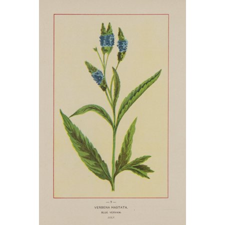 Wild Flowers of America 1894 Blue Vervain Canvas Art - Unknown (18 x 24)