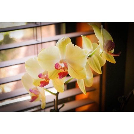 LAMINATED POSTER Phalaenopsis Best Flower Plant Orchids Green Poster Print 24 x