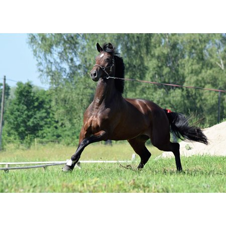 Canvas Print Stallion Purebred Horses Running Racehorse Horse Stretched Canvas 10 x 14