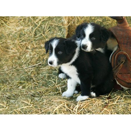 Border Collie Puppies Print Wall Art By Inga Spence