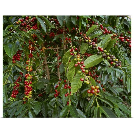 Great BIG Canvas | Rolled G. Brad Lewis Poster Print entitled Kona coffee beans on the tree,