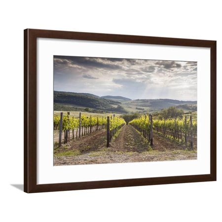 Vineyards Near to Montepulciano, Val D