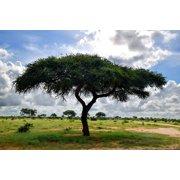 5 very rare seeds - Umbrella Thorn Acacia Tree Seed --Drought Tolerant - Acacia tortilis