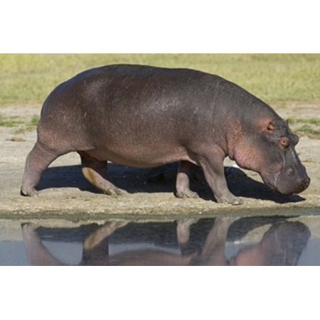 Side profile of a hippopotamus walking Ngorongoro Crater Ngorongoro Conservation Area Tanzania (Hippopotamus amphibius) Poster Print by Panoramic Images (16 x 11) ()