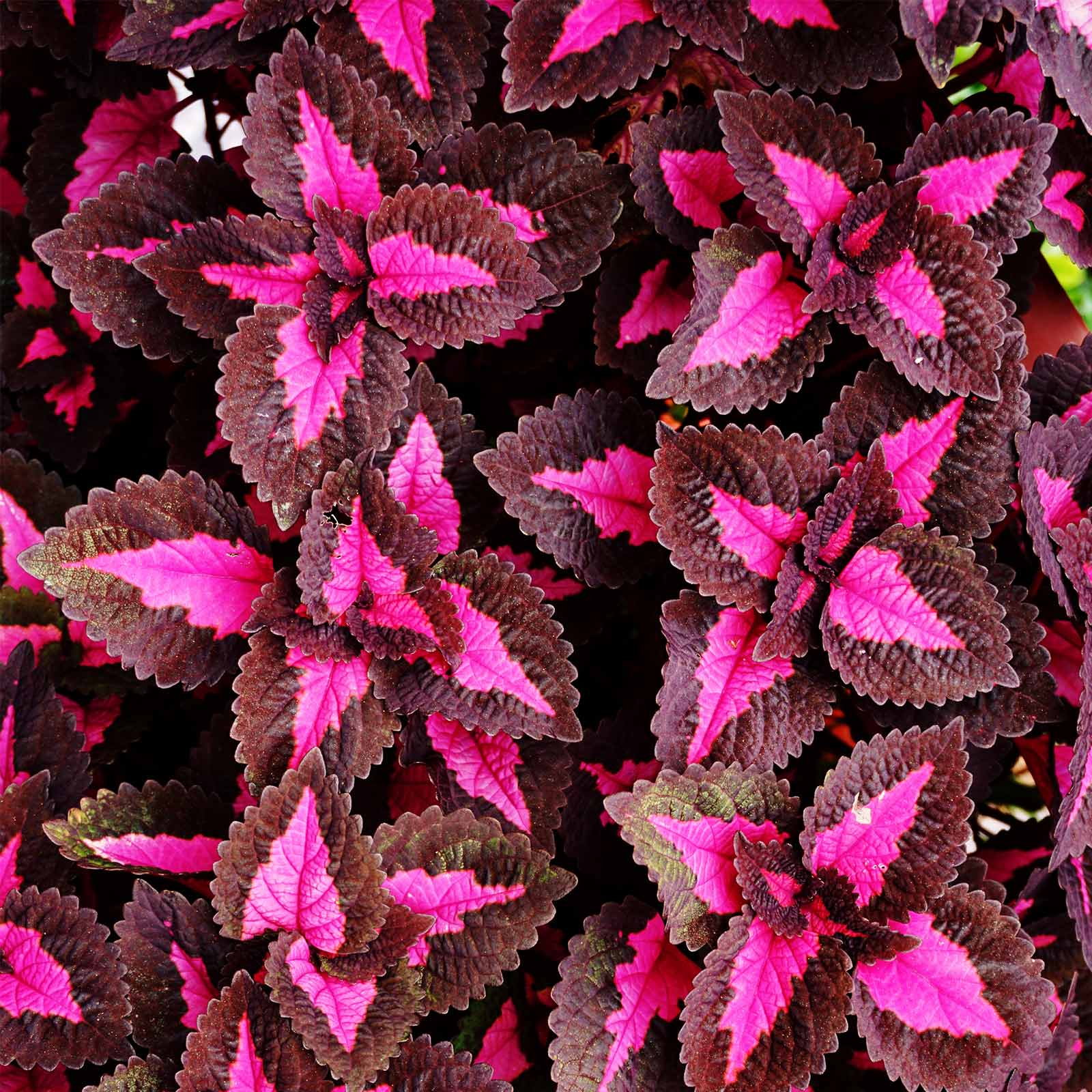 Chocolate Covered Cherry Coleus Seeds - 100 Seeds - Decorative House & Garden Plant Seeds by Mountain Valley Seed Company