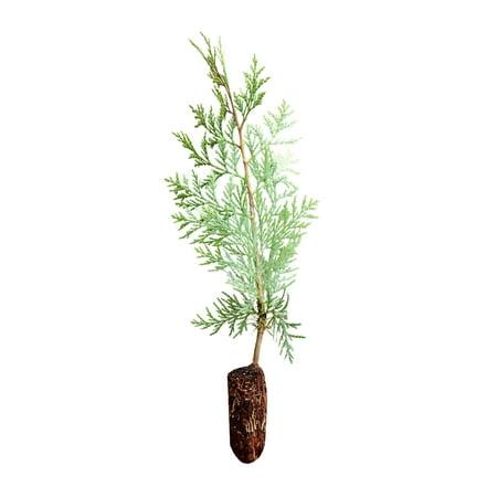 Incense Cedar | Medium Tree Seedling | The Jonsteen Company ()