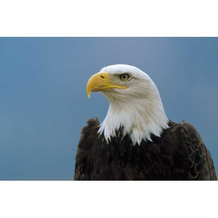 Bald Eagle portrait North America Poster Print by Konrad Wothe (12 x