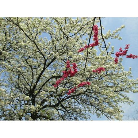 LAMINATED POSTER Park Plant White Cherry Blossom Red Poster Print 24 x - Red Cherry Blossom