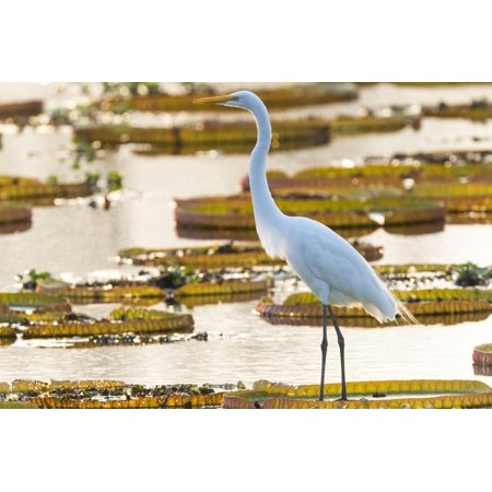 Fish Lily Pads - Brazil, The Pantanal, Porto Jofre. Great egret on giant lily pad looking for fish. Print Wall Art By Ellen Goff
