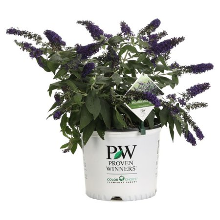 Proven Winners Pugster Blue Butterfly Bush Buddleia Live Shrub