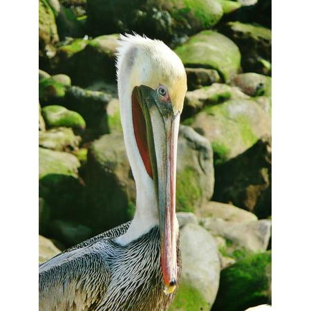 Canvas Print Brown Wildlife Pelican Bird La Jolla San Diego Stretched Canvas 32 x