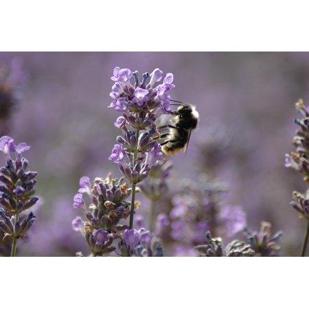 LAMINATED POSTER Honey Garden Purple Lavender Bee Bumblebee Pollen Poster Print 24 x -