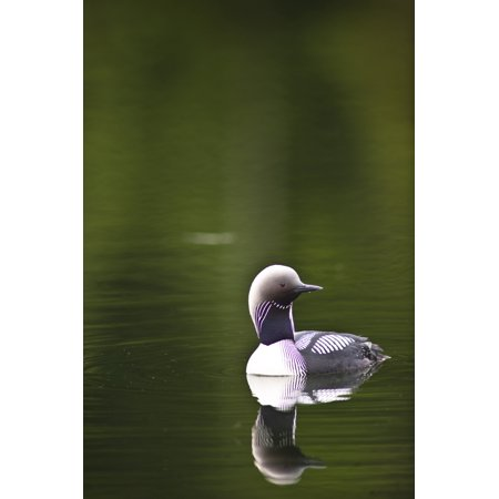 Loon Pond (Close Up Of A Pacific Loon Swimming In A Pond In Chugach State Park Near Anchorage Southcentral Alaska Summer Canvas Art - Michael Jones  Design Pics (22 x)