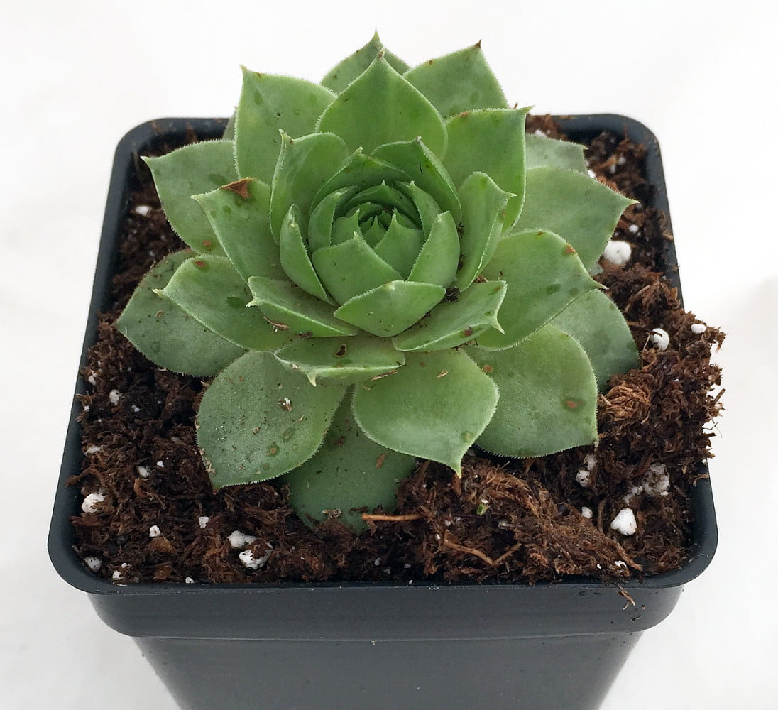 Healthy Hens /& Chicks Best Deal on  10 Sempervivum 10 varieties of Colorful
