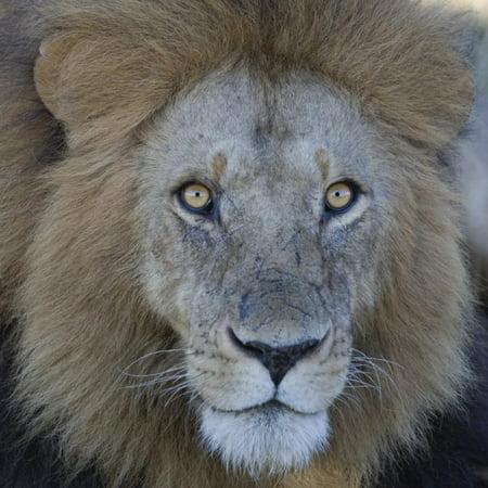 Male African Lion Face, Panthera Leo, Maasai Mara, Kenya, Africa Print Wall Art By Arthur -