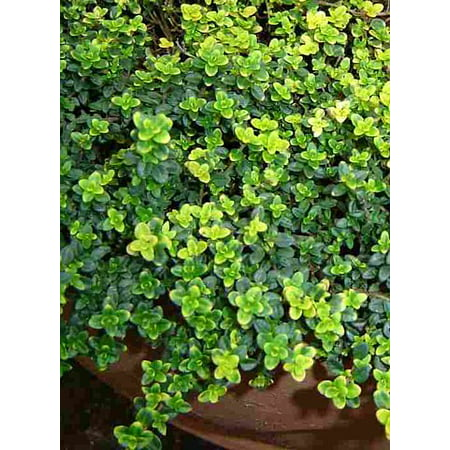 - Gold Lemon Thyme Plant - Bright Golden-Edged Leaves - Live Plant - 3