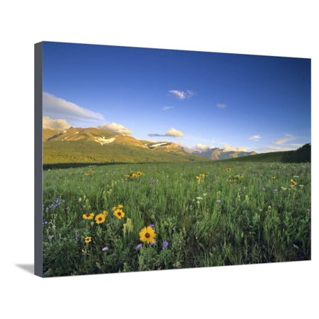 Wildflowers Along Rocky Mountain Front Near Browning, Montana, USA Stretched Canvas Print Wall Art By Chuck Haney (Frost Chuck)