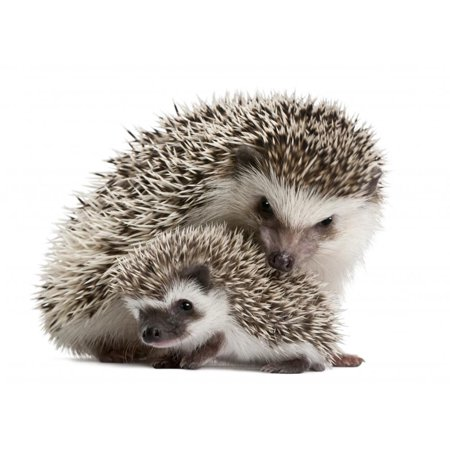 Wallmonkeys Four Toed Hedgehogs Atelerix Albiventris 3 Weeks Old Peel And Stick Wall Decals Wm238135  36 In W X 29 In H