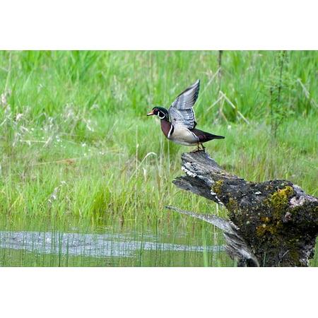 Waterfowl Wood (Canvas Print Taking Flight Wood Duck Waterfowl Water Bird Bird Stretched Canvas 10 x 14)
