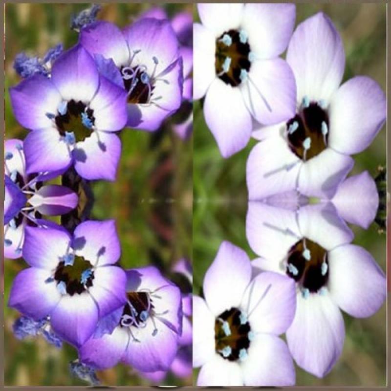 4 Packs x 5000 Bird's Eyes Flower Seed - Gilia tricolor ~...