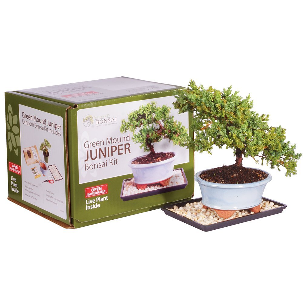 Brussel's Green Mound Juniper Bonsai Kit (Outdoor) by Brussel's Bonsai