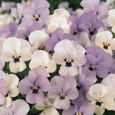 Viola Flower Garden Seeds - Sorbet F1 Series - Yesterday Today Tomorrow - 100 Seeds - Annual Flower Gardening Seeds, Viola Flower Seeds .., By Mountain Valley Seed Company Ship from (Yesterday Today And Tomorrow Plant For Sale)