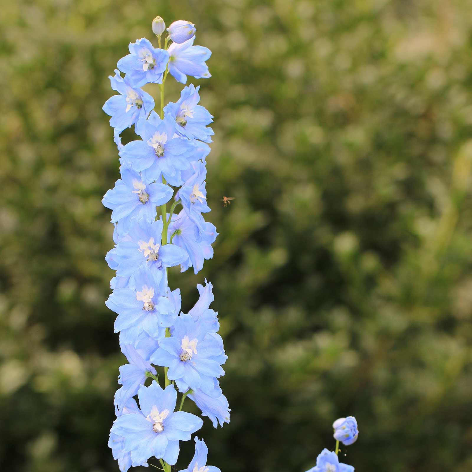 Delphinium Pacific Giant Series Flower Seeds Summer Skies 1000