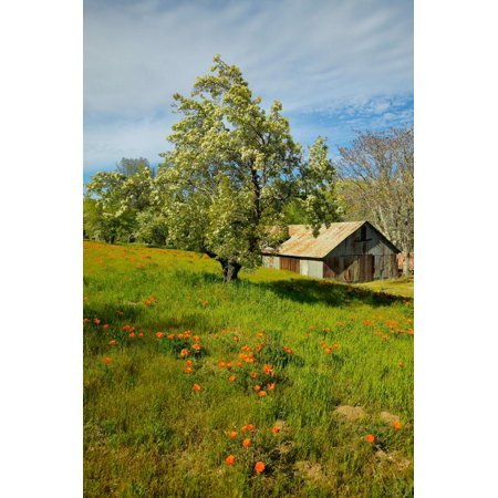 Old barn next to a colorful bouquet of spring flowers and California Poppies near Lake Hughes, CA Print Wall Art