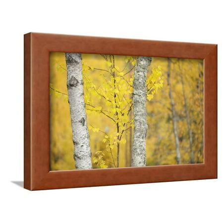 Birch Trees (Betula Verrucosa or Pubescens) Oulanka, Finland, September 2008 Framed Print Wall Art By Widstrand ()