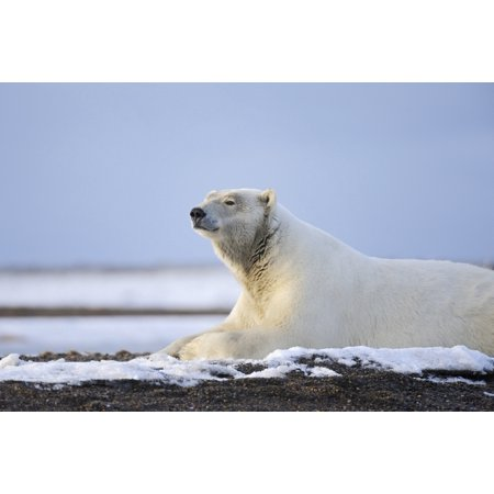 An Adult Polar Bear Rests Along On A Shoreline Of A Barrier Island Outside Kaktovik On The Northern Edge Of Anwr Arctic Alaska Fall Stretched Canvas - Ed Bennett  Design Pics (19 x 12)