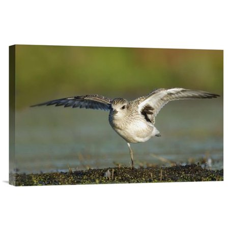 East Urban Home Black Bellied Plover Spreading Its Wings Photographic Print On Canvas