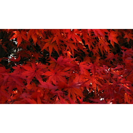 LAMINATED POSTER Tree Maple Red Leaves Of Japanese Maples Japanese Poster Print 24 x 36
