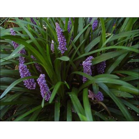Classy Groundcovers - Liriope muscari 'Royal Purple'  {50 Bare Root plants}