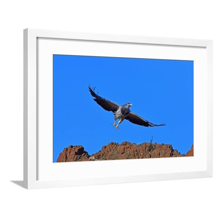 Black Chested Buzzard Eagle (Geranoates Melanoleucus), Patagonia, Chile, South America Framed Print Wall Art By Pablo Cersosimo