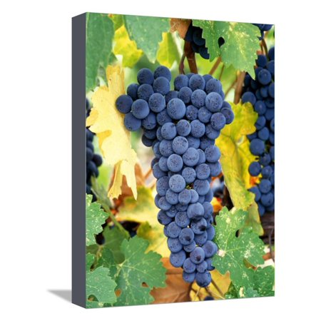 Napa Cellars Cabernet Sauvignon (Cabernet Sauvignon Grapes, Napa Valley, California Stretched Canvas Print Wall Art By Karen Muschenetz)