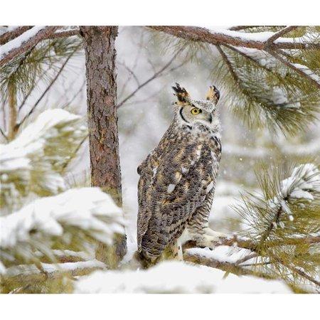 Long Eared Owl Poster Print by John Pitcher, 30 x 26 - Large - image 1 de 1