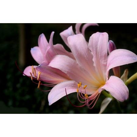 Naked lady pink magic lily bulb lycoris squamigera fall blooming naked lady pink magic lily bulb lycoris squamigera fall blooming 1214cm mightylinksfo